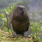kea parrot by Ty Cooper