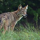 Eastern Coyote by smalletphotos