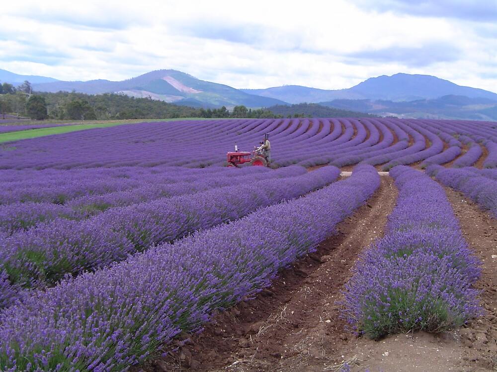 Lavender Farm - Tasmania by Barry Ross