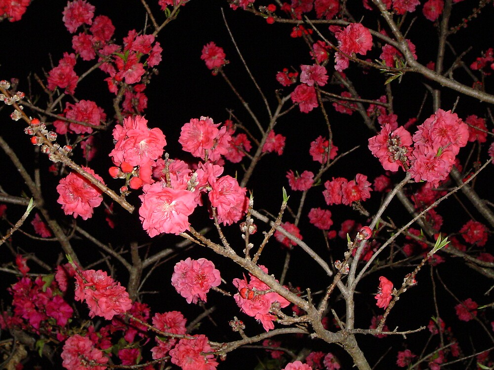 Blossoms at Night by Barry Ross