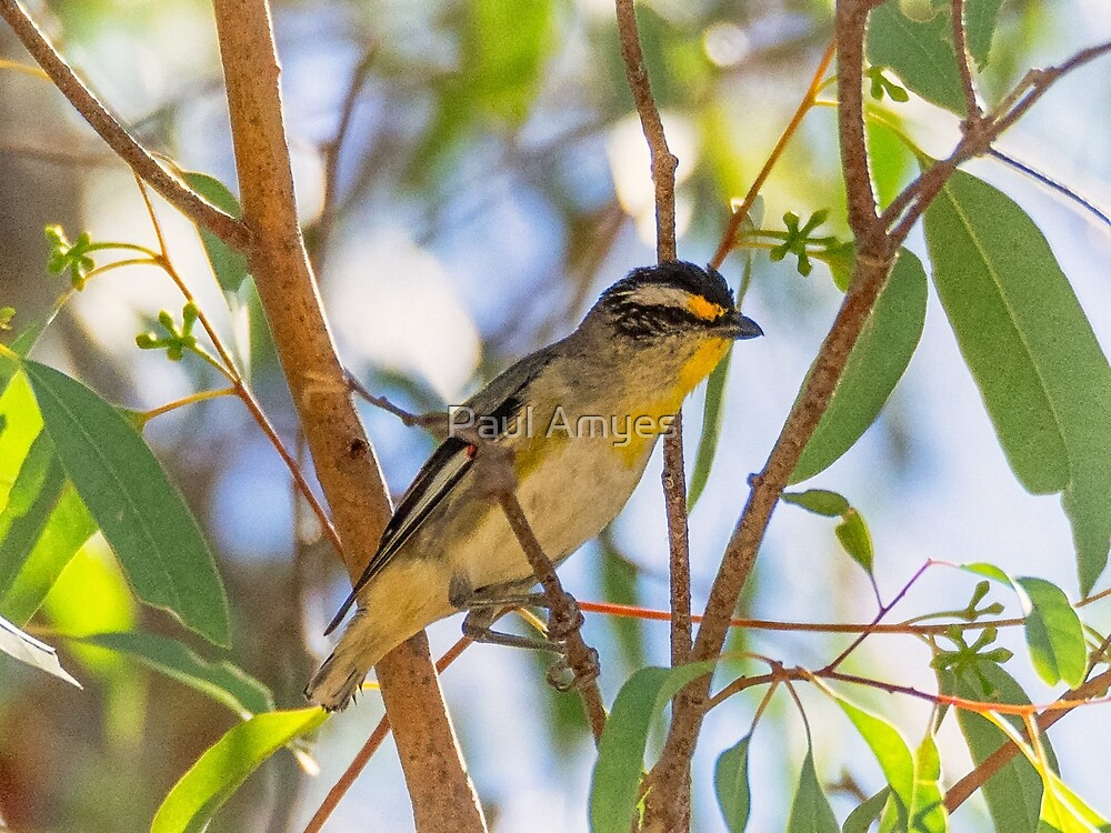 Striated Pardalote by Paul Amyes