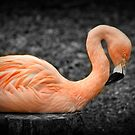 Pink Flamingo by klh0853