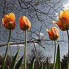 Tulips in the sun by klh0853