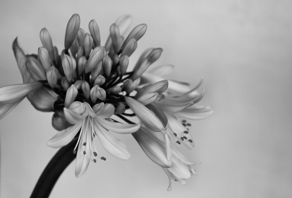 agapanthus, day 3 by Janet Leadbeater