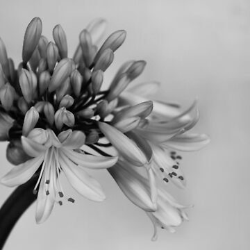 agapanthus, day 3 by LucidPieces