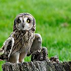 Short Eared Owl Asio flammeus by David Carton