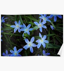 Scilla Flowers In The Morning Poster