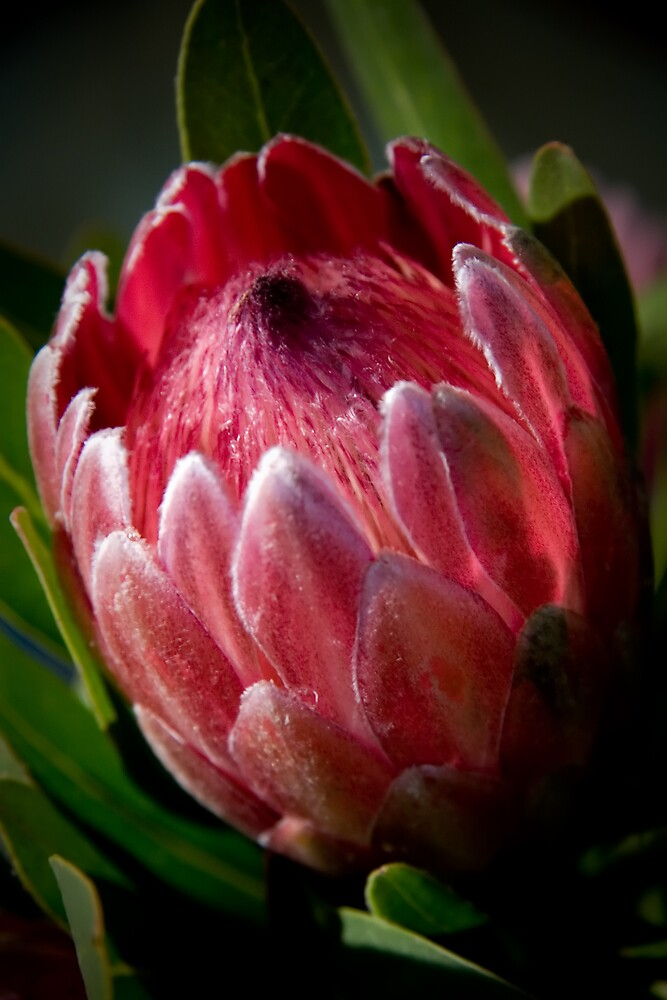 Protea by Spoungeworthy