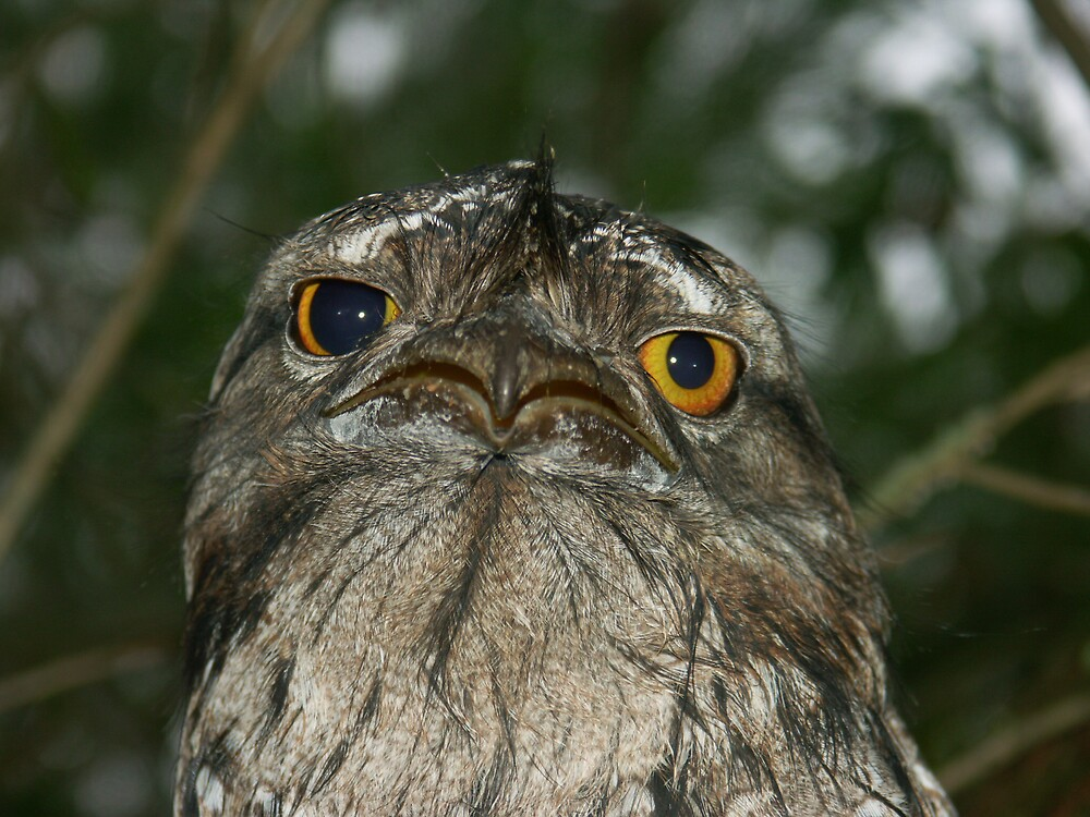 A sad tawny frogmouth by rosemarie butler