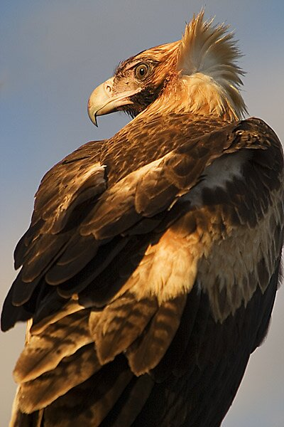 Wedge-tailed eagle by graynomad