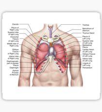 Anatomie der menschlichen Lunge in situ. Sticker