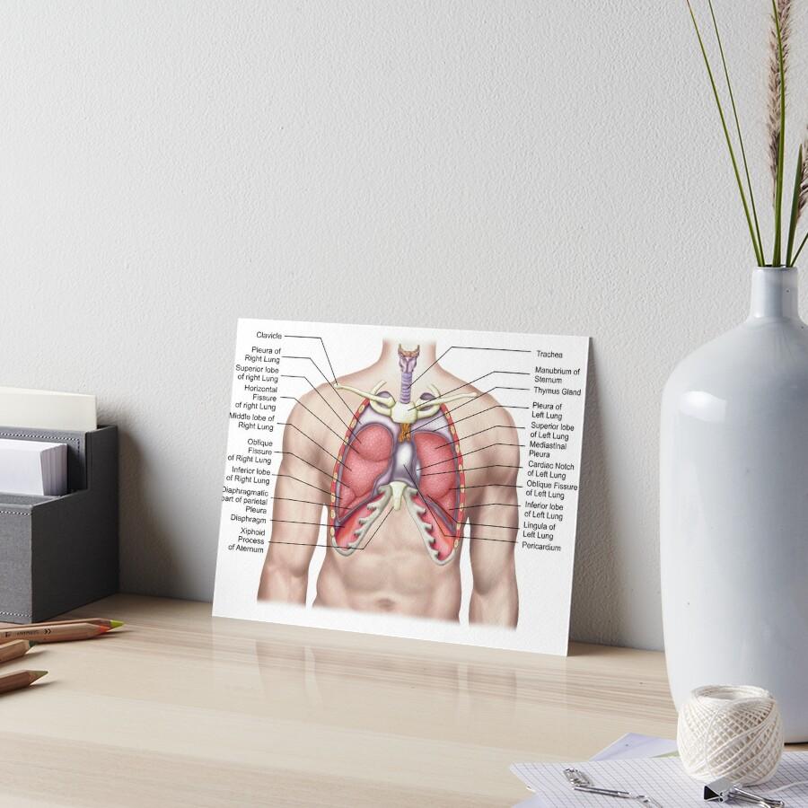 Láminas de exposición «Anatomía de los pulmones humanos in situ.» de ...