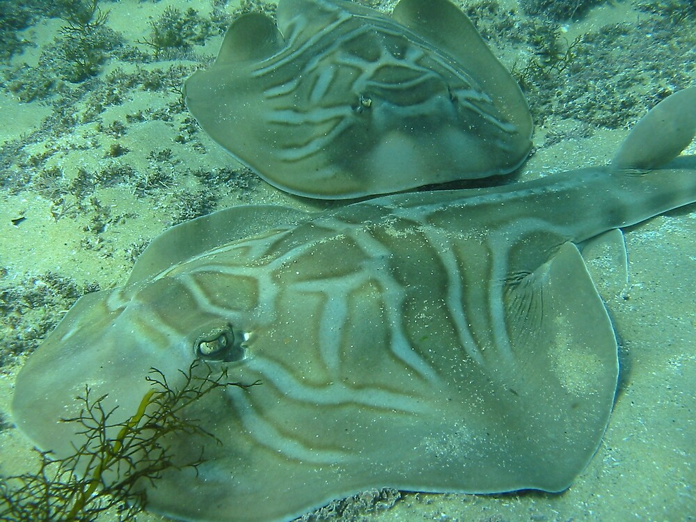 Fiddler Rays by Wormfish