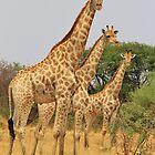 Giraffe Symmetry - African Wildlife Background by LivingWild