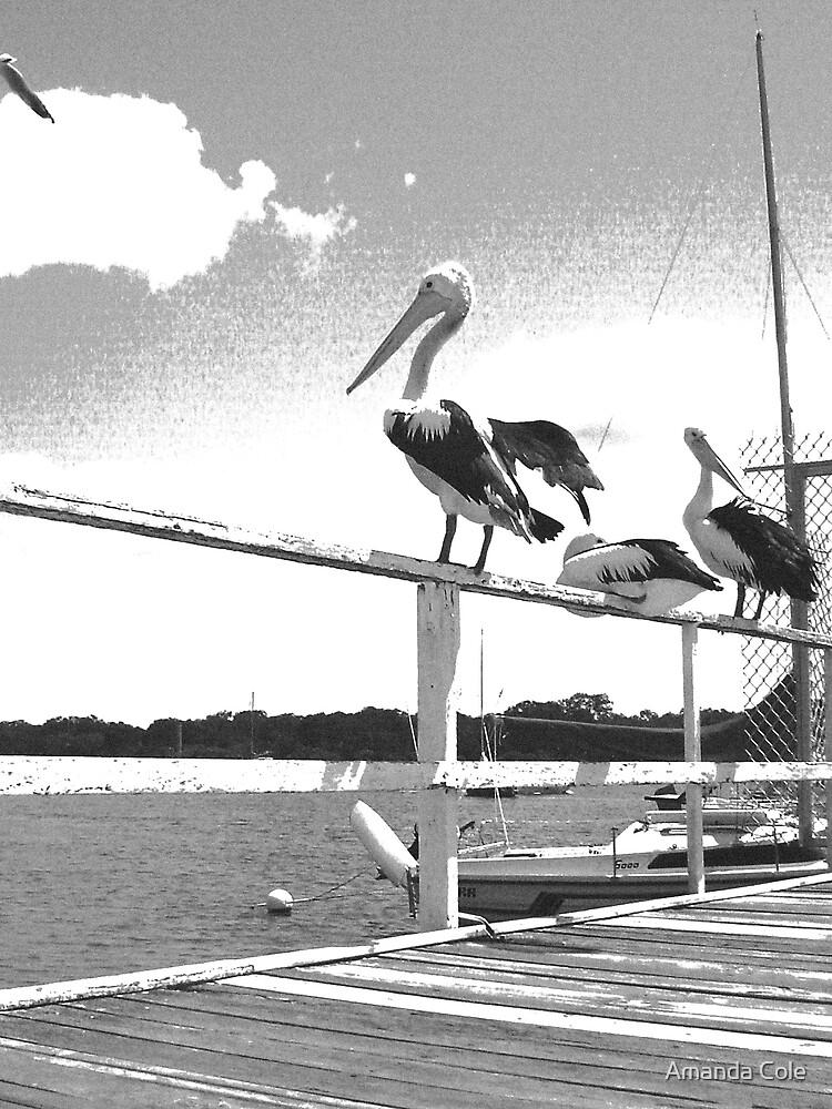 Pelicans Noosa by Amanda Cole