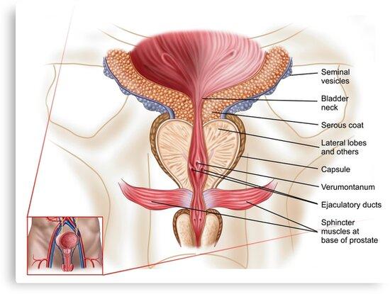 Lienzos «Anatomía de la glándula prostática» de StocktrekImages ...