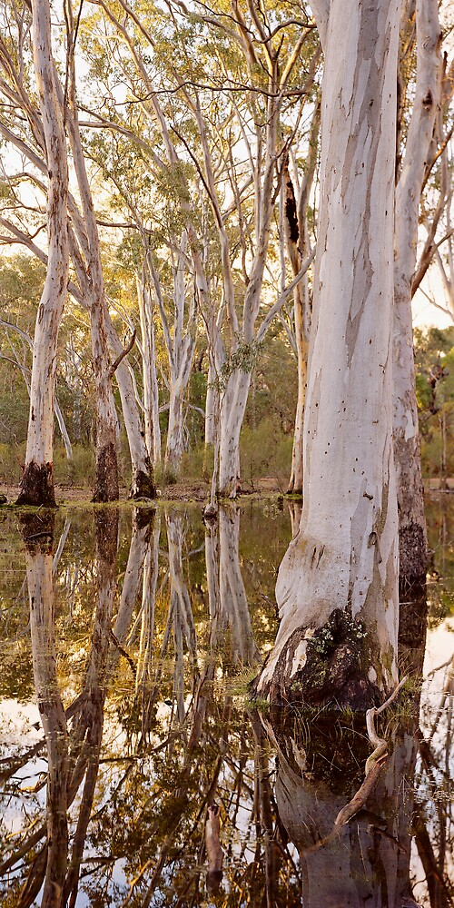 Gum Trees in Sheet Water 1 by mgimagery