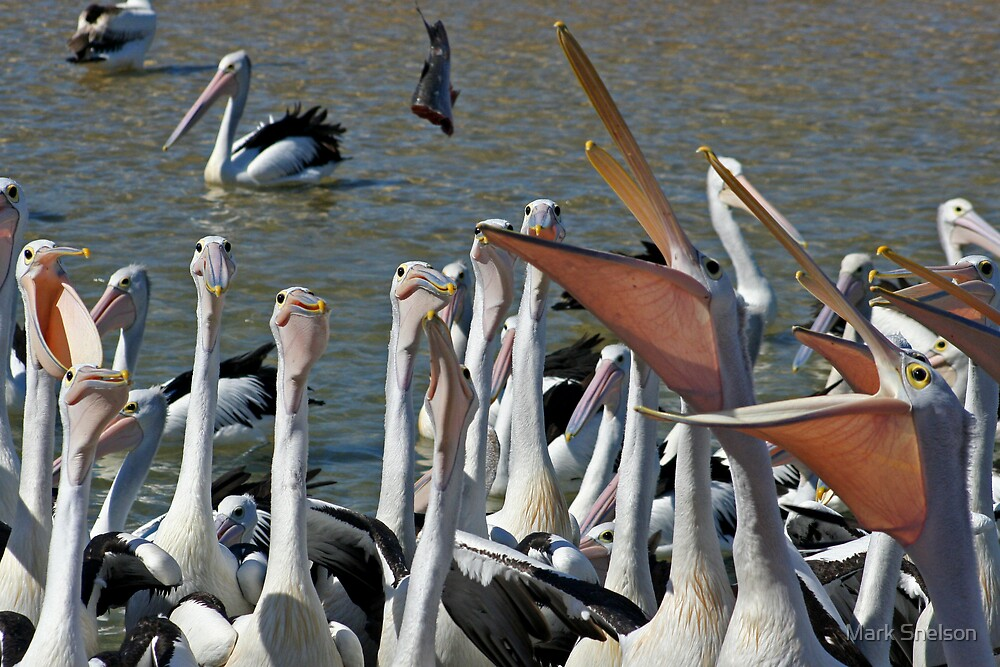 Pelicans Feeding by Mark Snelson