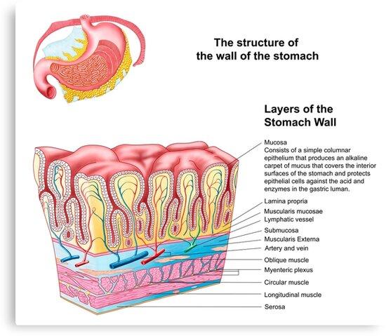 Lienzos «Anatomía de la estructura y capas de la pared del estómago ...