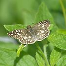 Tropical Checkered Skipper by Heather Pickard
