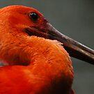 Big Red Bird by Jason Ross