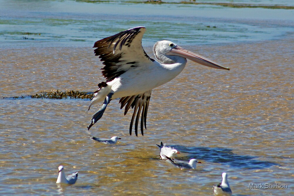 Pelican in Flight by Mark Snelson