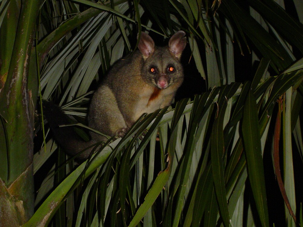Possum in Palm by Barry Ross