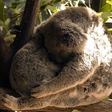 Koala by Shutterbug