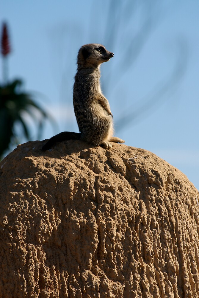 Meerkat by Timothy Oon