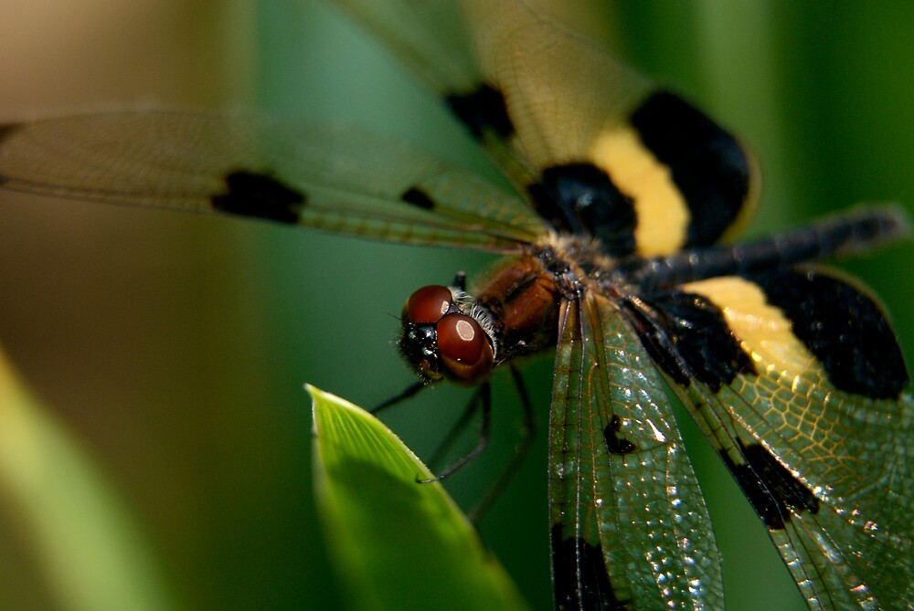 Yellow Dragonfly by Timothy Oon
