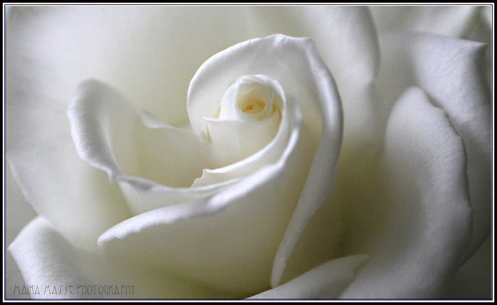 White Rose by Maria Masse