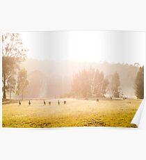 Kangaroos at sunrise Poster