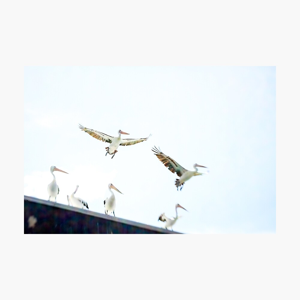 Pelicans in flight Photographic Print