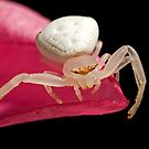 Crab Spider on Frangipani by Frank Yuwono