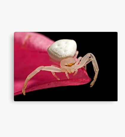 Crab Spider on Frangipani Canvas Print
