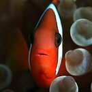 Tomato Clown Fish by James Deverich