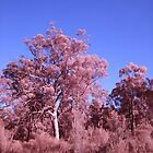 Pink Gum trees by BigAndRed