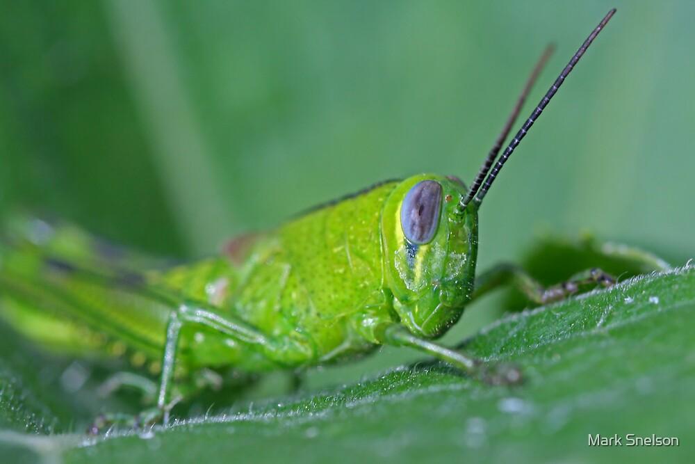 Grasshopper 14 by Mark Snelson