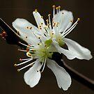 Blossum by qvet92