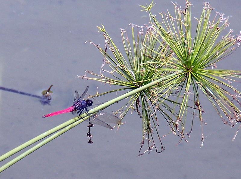 Bali Dragonfly by Chris Moysey