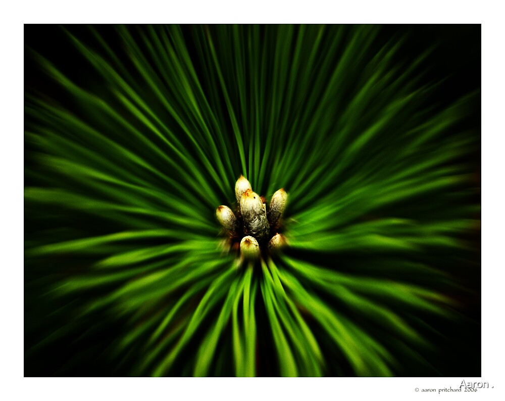 Pine by Aaron .