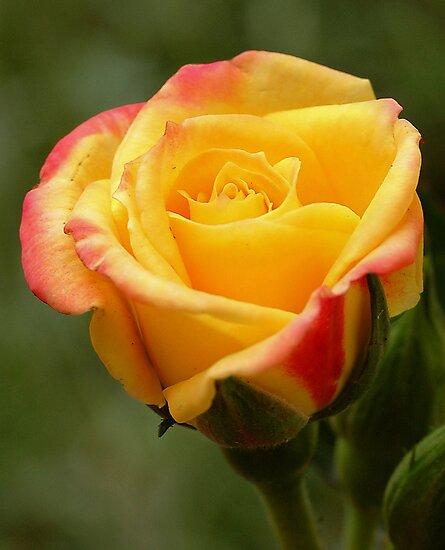 Mini Rose by qvet92