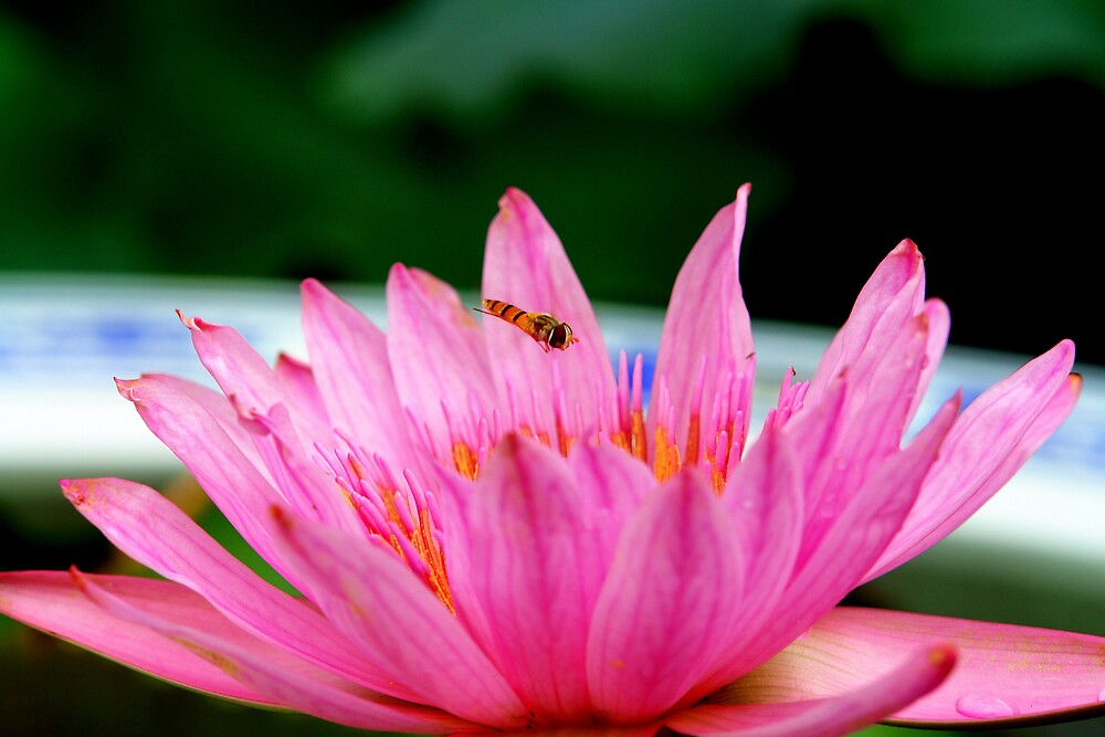 Hoverfly by Wulff