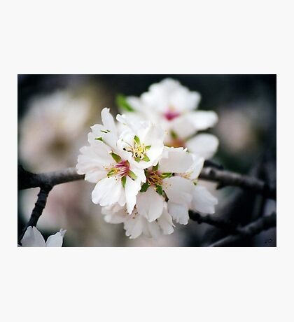 Flowering Almond Photographic Print