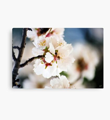 Flowering Almond and Friend Canvas Print