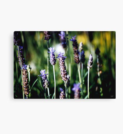 Fields of lavender Canvas Print