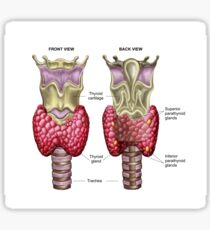 Anatomy of thyroid gland with larynx & cartilage. Sticker