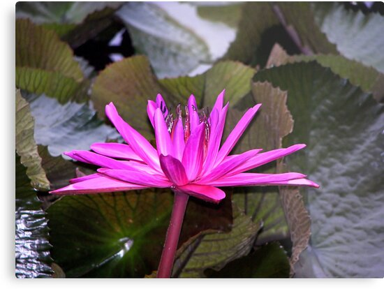 Waterlily by Lissy