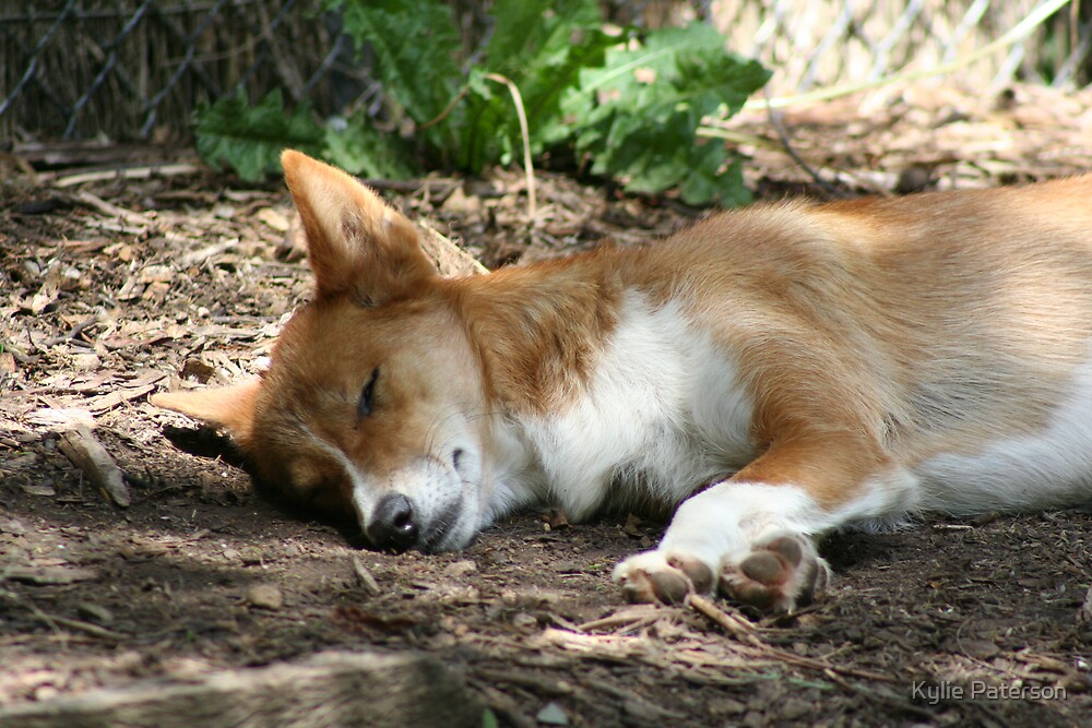 Sleeping DIngo by Kylie Paterson