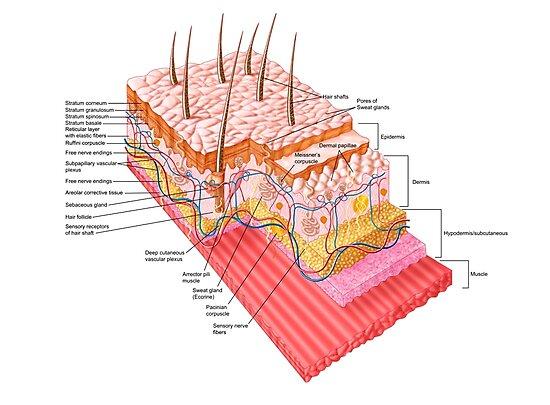 Láminas fotográficas «Anatomía de la piel humana.» de ...